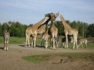 giraf 005