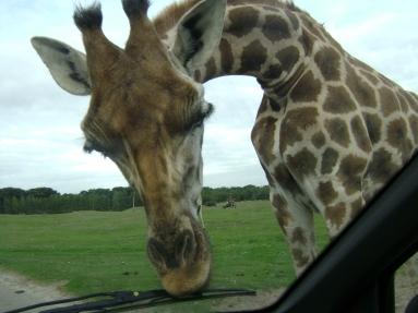 giraf 011