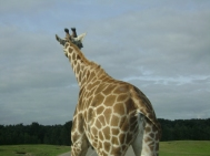 giraf 015