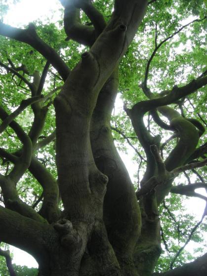zwartekaatboom