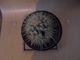 Bolcactus van boven