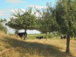 Koeien van Troje
