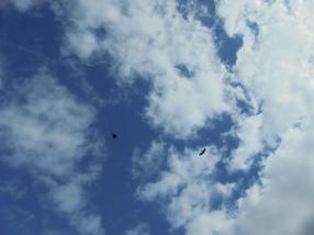 Roofvogels in de lucht